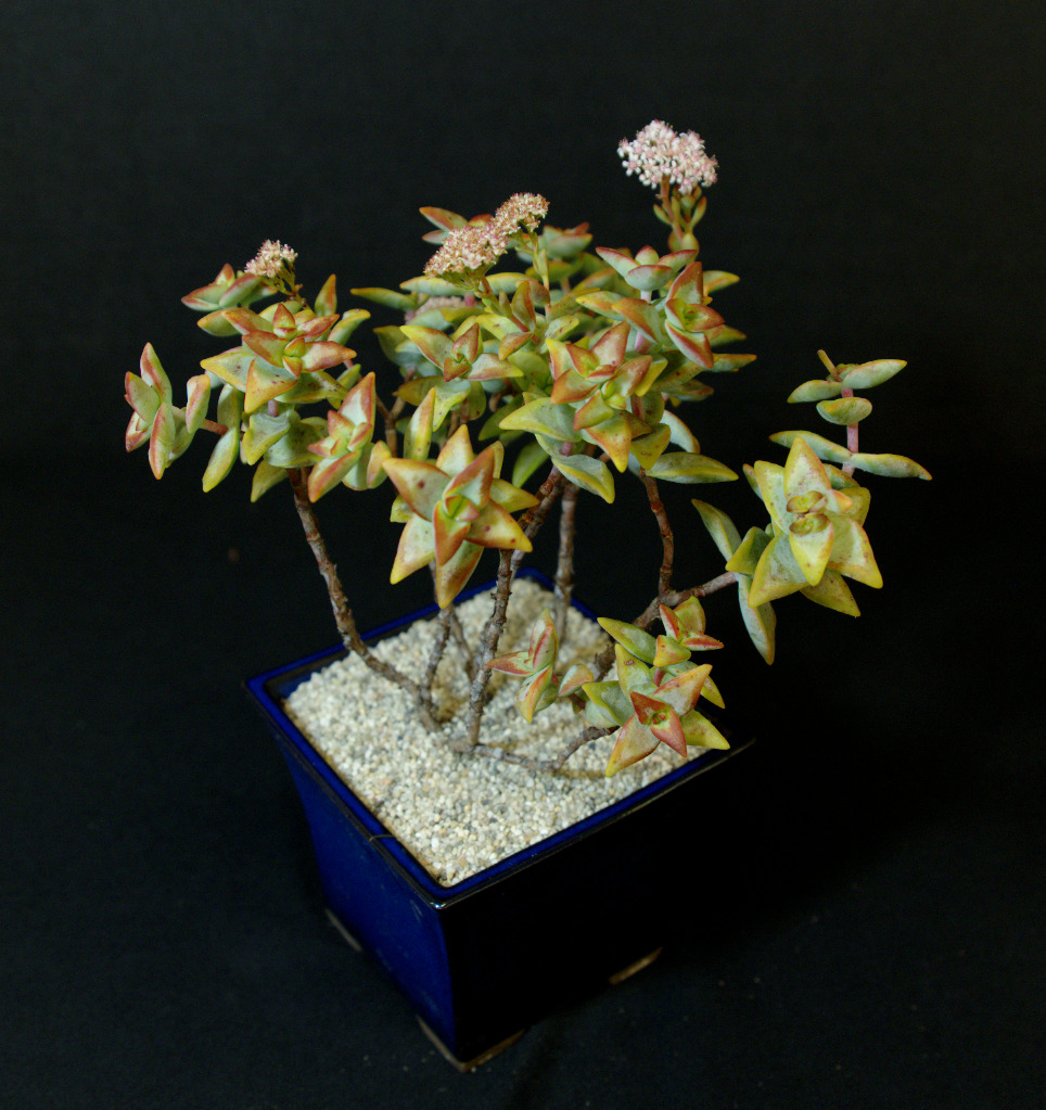 SCCSS 2016 February - Winner Open Succulent - Gary Duke - Crassula rupestris