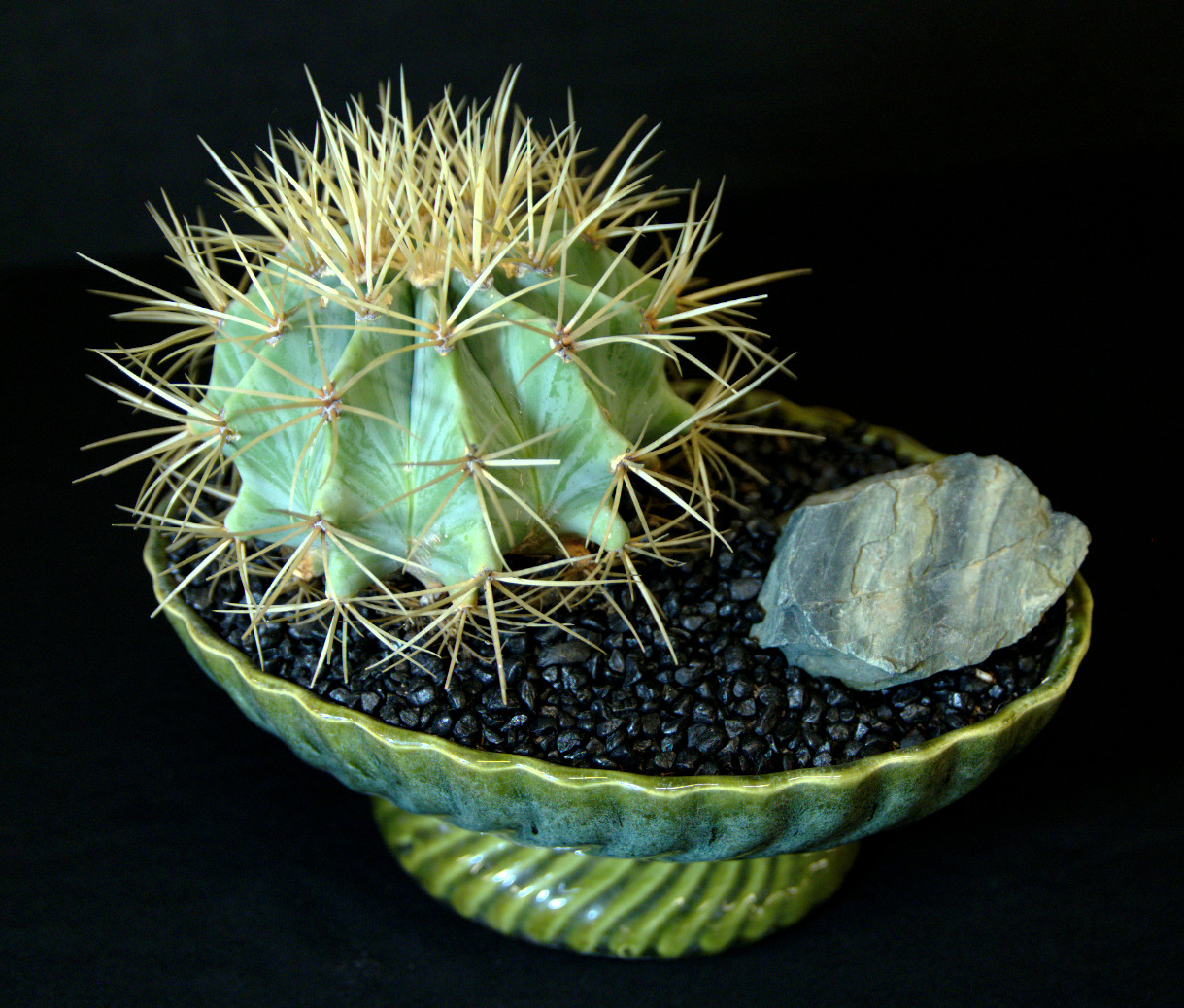 SCCSS 2016 March - Winner Intermediate Cactus - Phyllis DeCrescenzo - Ferocactus pilosus