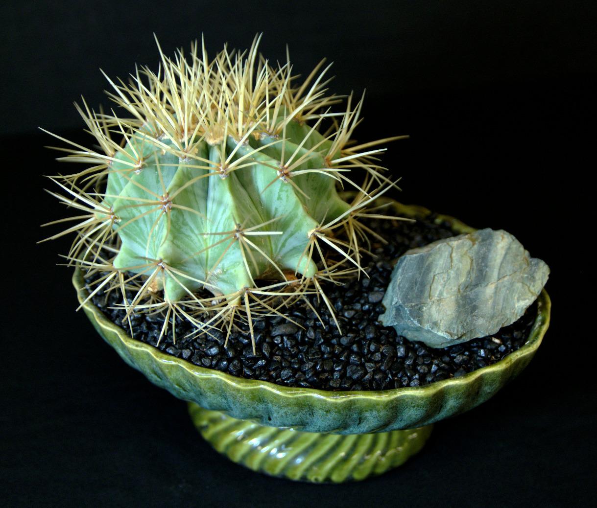 SCCSS 2016 March - Winner Intermediate Cactus - Phyllis DeCrescenzo - Ferocactus pilosus