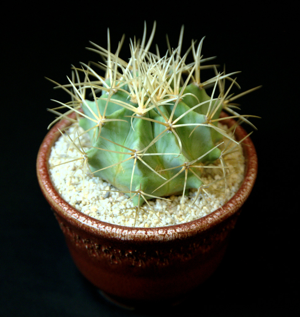 SCCSS 2016 March - Winner Novice Cactus - Sally Fasteau - Ferocactus glaucescens