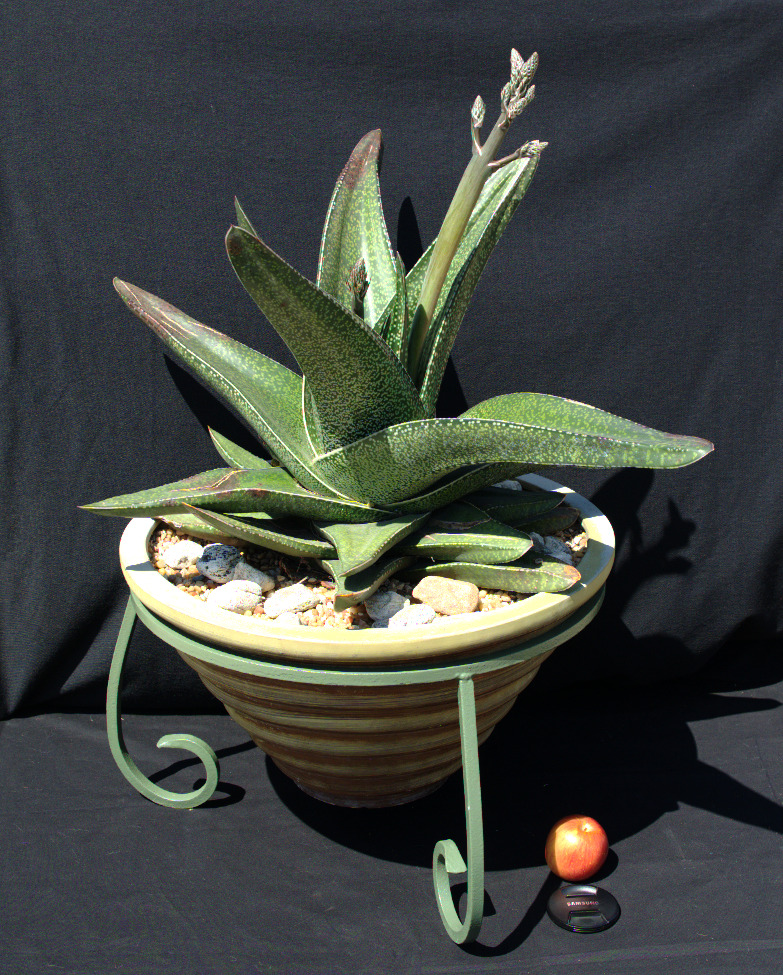 SCCSS 2016 March - Winner Novice Succulent - Mike Short - Gasteria excelsa x
