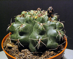 Gymnocalycium baldianium
