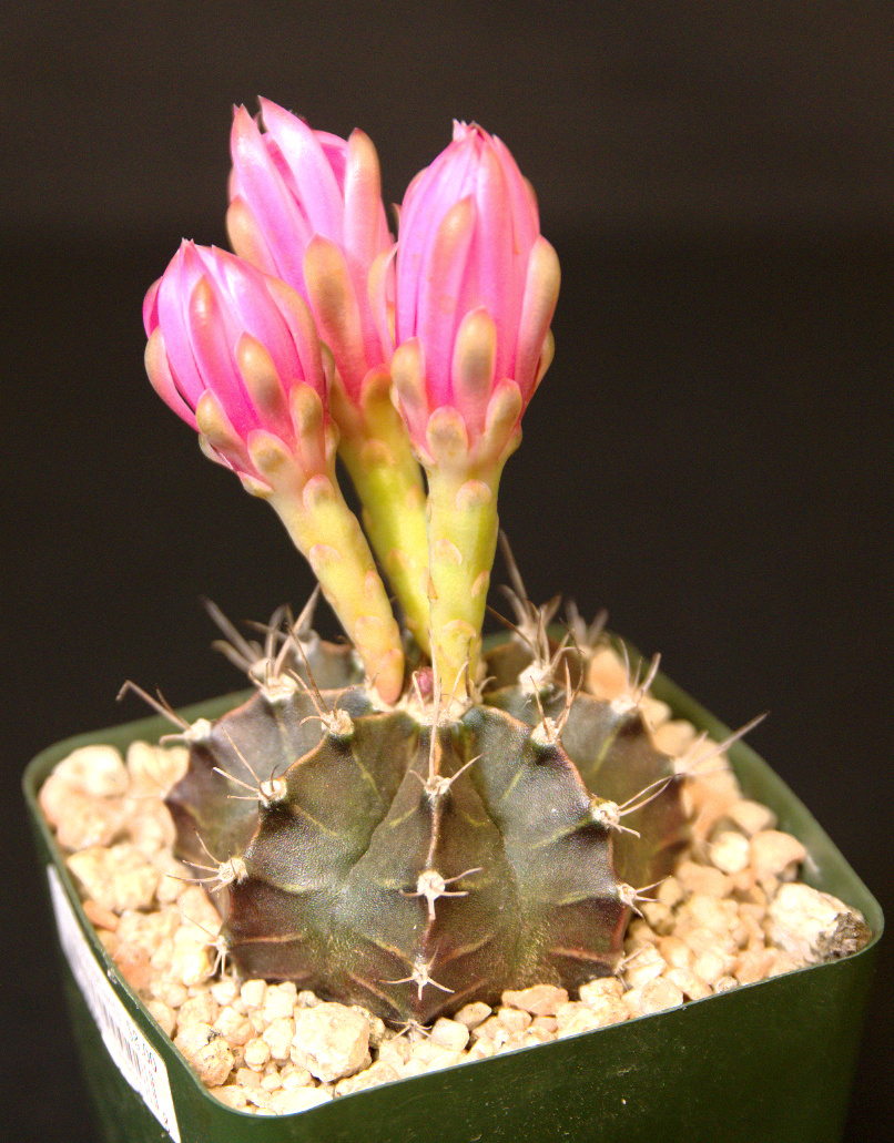 SCCSS 2016 May - Winner Novice Cactus - Jim Tanner - Gymnocalycium friedrichii