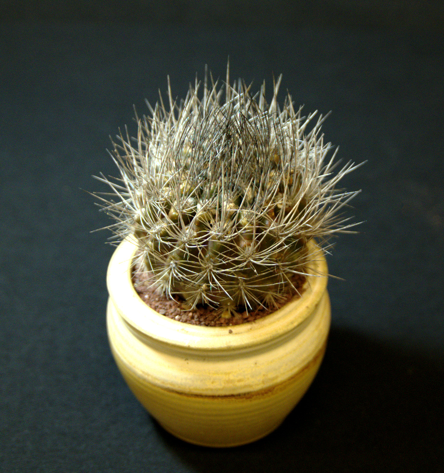 SCCSS 2016 June - Winner Intermediate Cactus - Anita Caplan - Neoporteria villosa
