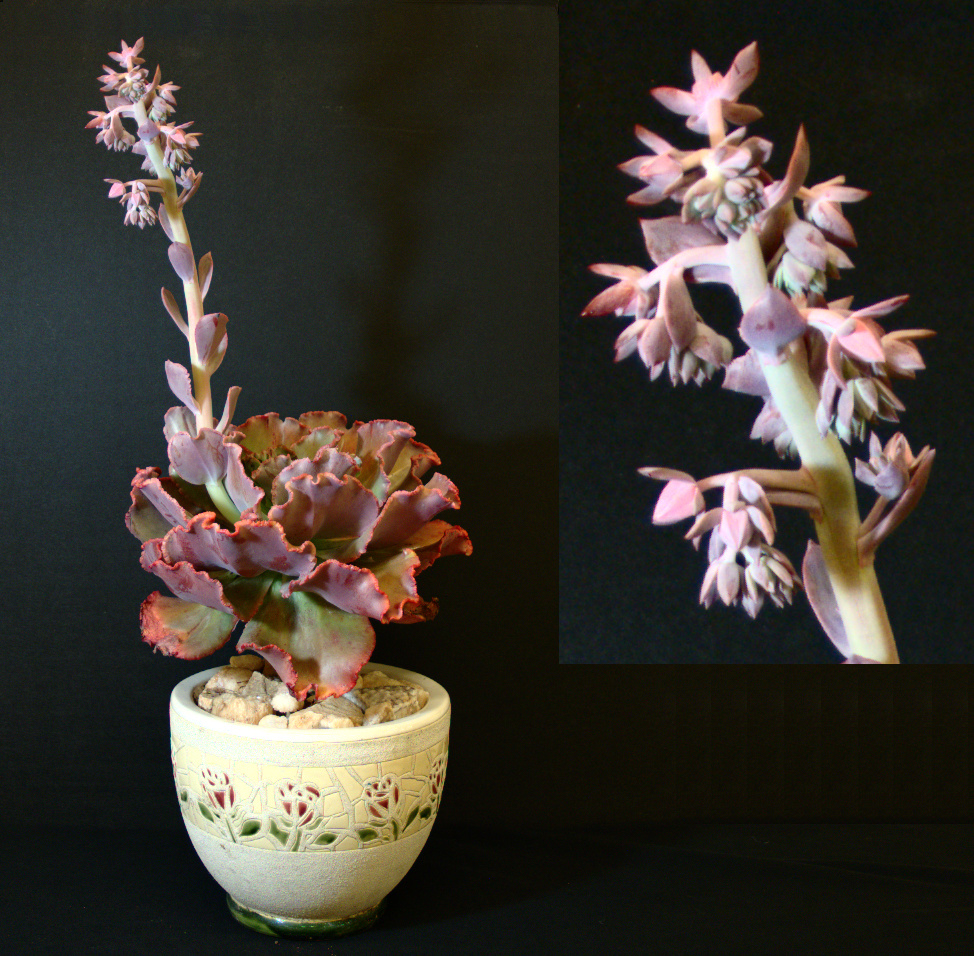 SCCSS 2016 June - Winner Intermediate Succulent - Phyllis DeCrescenzo - Echeveria gibbiflora crenulata