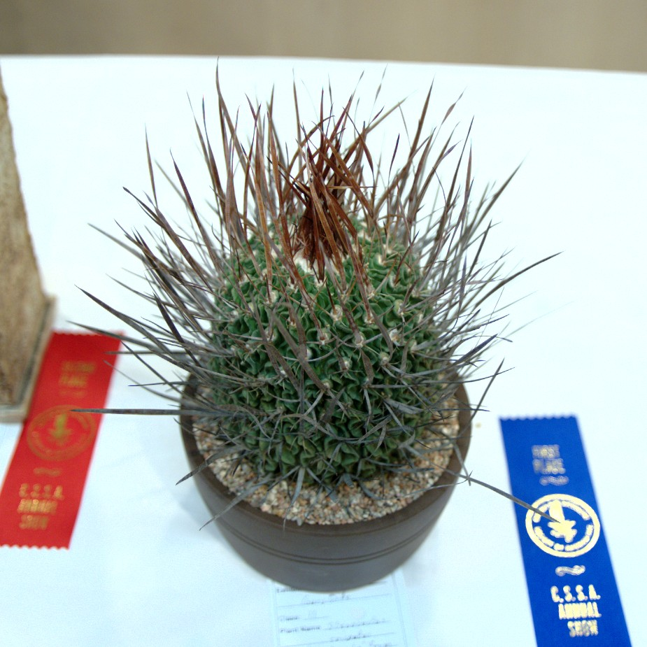 CSSA 2016, Class 11, 1st Place - Gary Duke - Stenocactus crispatus Huizache Form