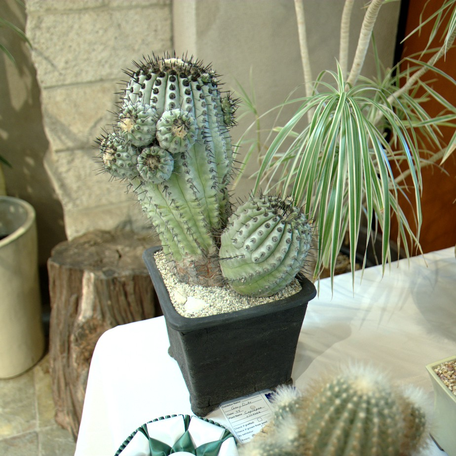 CSSA 2016, Class 44, 1st Place - Gary Duke - Copiapoa cinerea
