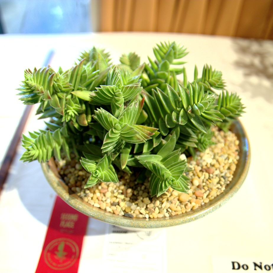 CSSA 2016, Class 53, 2nd Place - Mike Short - Crassula capitella ssp thyrsiflora
