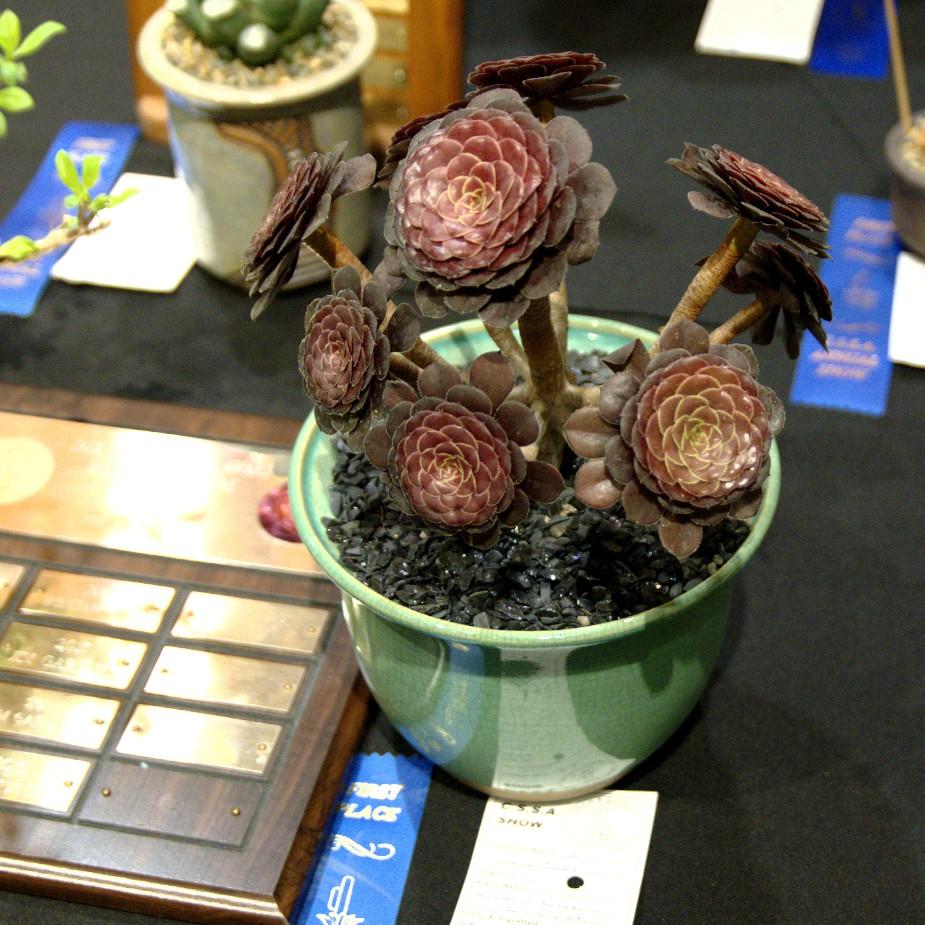CSSA 2016, Class 57, 1st Place - MA Bjarkman - Aeonium arboreum 'Short Chocolate'