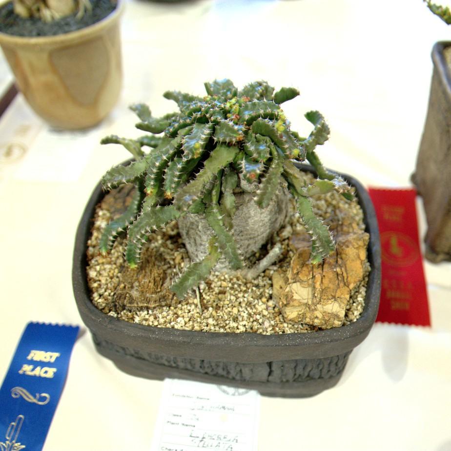 CSSA 2016, Class 74, 1st Place - Jim Hanna - Euphorbia stellata