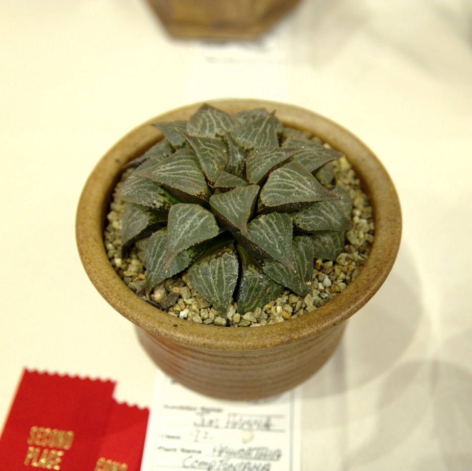 CSSA 2016, Class 92, 2nd Place - Jim Hanna - Haworthia comptoniana x emelyae var major