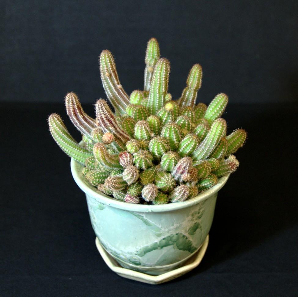SCCSS 2016 July - Winner Intermediate Cactus - Phyllis DeCrescenzo - Echinopsis chamaecereus, Peanut Cactus