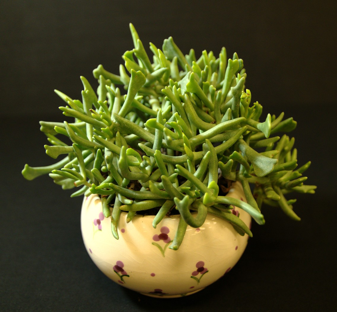 SCCSS 2016 August - Winner Intermediate Succulent - Phyllis DeCrescenzo - Rhombophyllum nelii