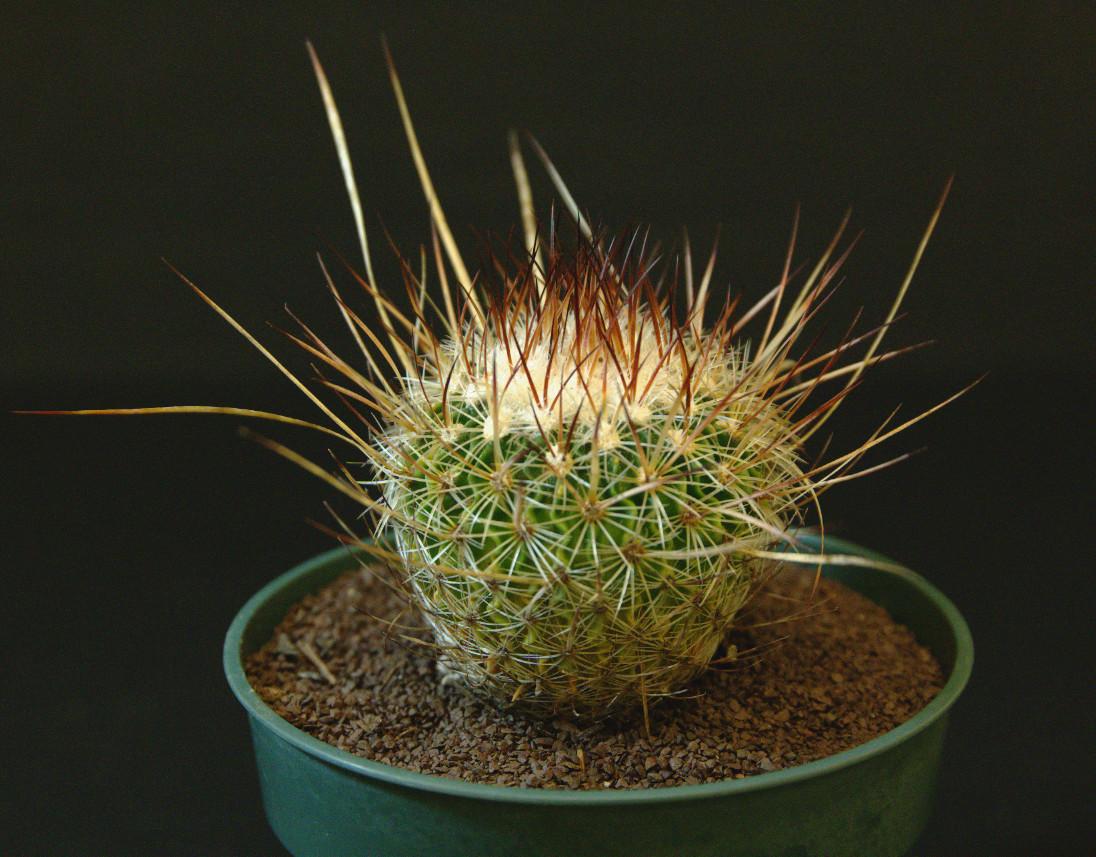 SCCSS 2016 August - Winner Novice Cactus - Mike Short - Stenocactus crispatus f. longispinus