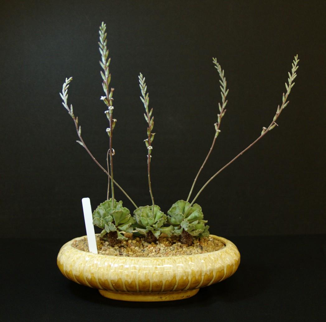 SCCSS 2016 September - Winner Intermediate Succulent - Phyllis DeCrescenzo - Adromischus cristatus