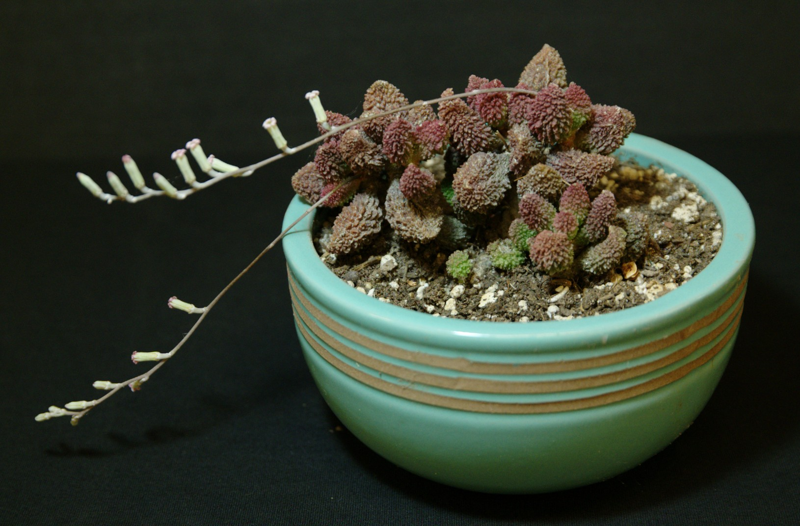 SCCSS 2016 September - Winner Novice Succulent - Martha Bjerke - Adromischus marianae