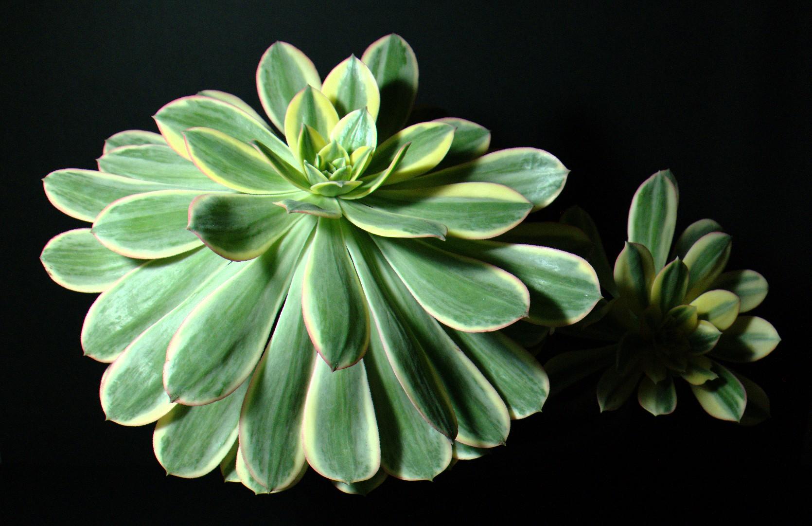 SCCSS 2016 October - Winner Intermediate Succulent - Phyllis DeCrescenzo - Aeonium 'Sunburst'