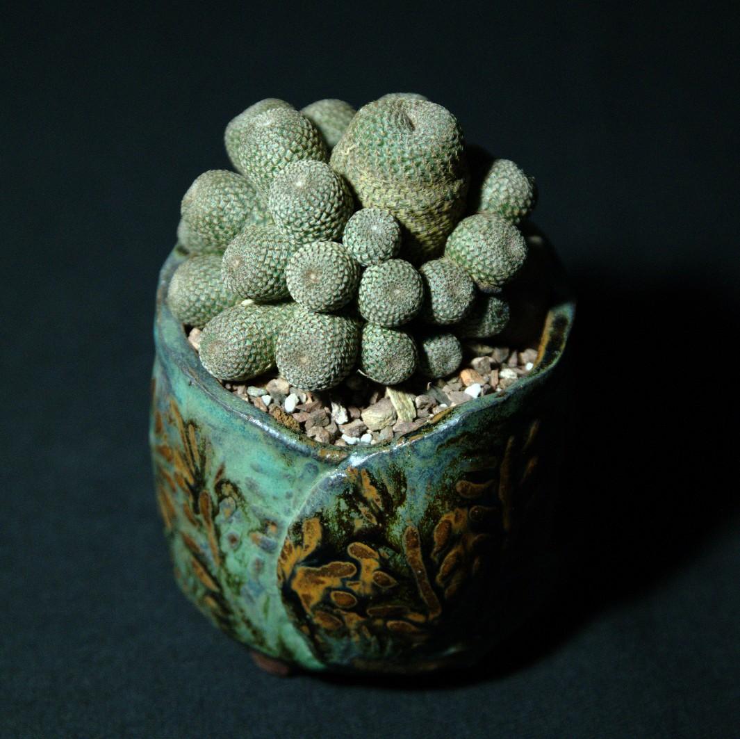 SCCSS 2016 October - Winner Novice Cactus - Regina Fernandez - Rebutia heliosa