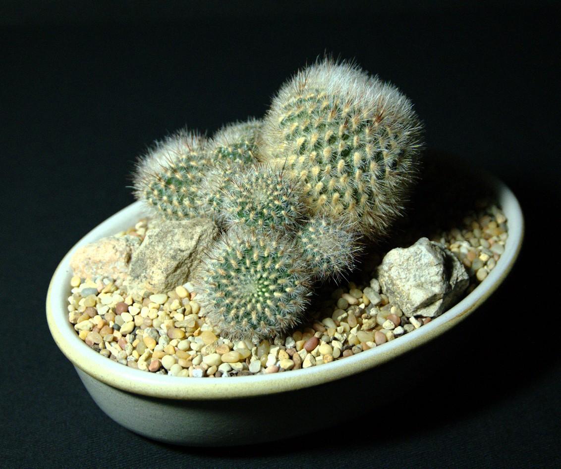 SCCSS 2016 October - Winner Open Cactus - Maria Capaldo - Sulcorebutia tiraguensis var. bicolorispina