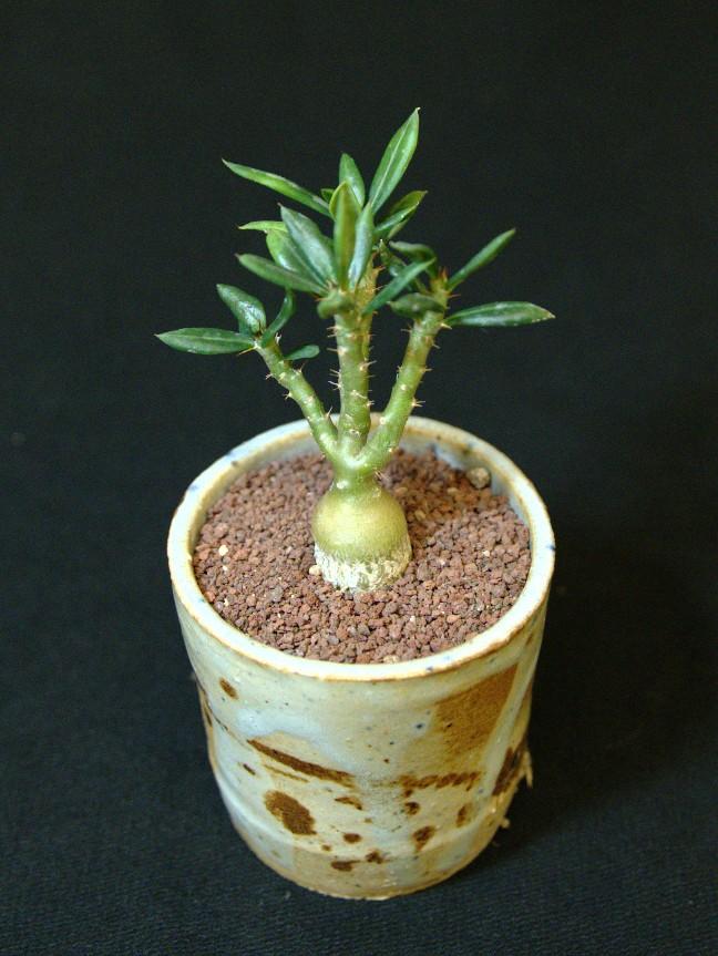 SCCSS 2016 November - Winner Intermediate Succulent - Anita Caplan - Pachypodium bispinosum x succulentum