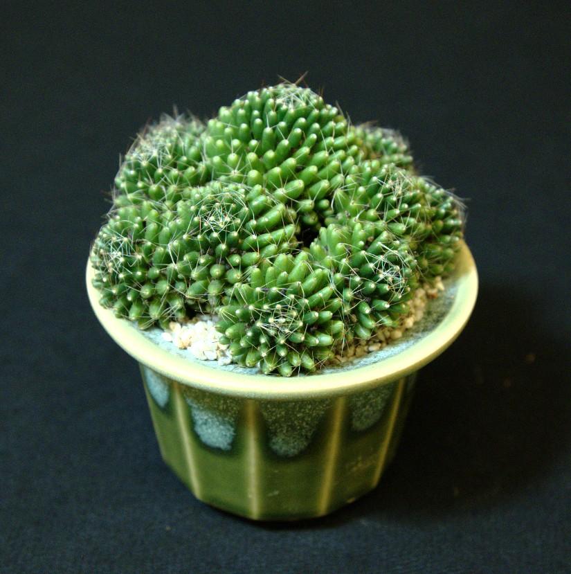 SCCSS 2016 November - Winner Open Cactus - Gary Duke - Mammillaria crinita ssp. painteri f. monstruosa