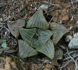Haworthia magnifica