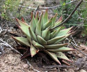 Haworthia marginata