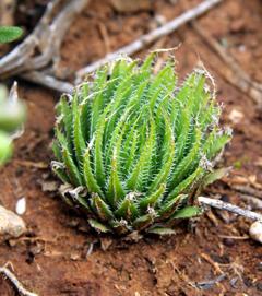 Haworthia xiphiophylla