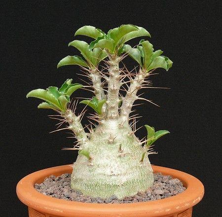 Pachypodium lealii subs. saundersii