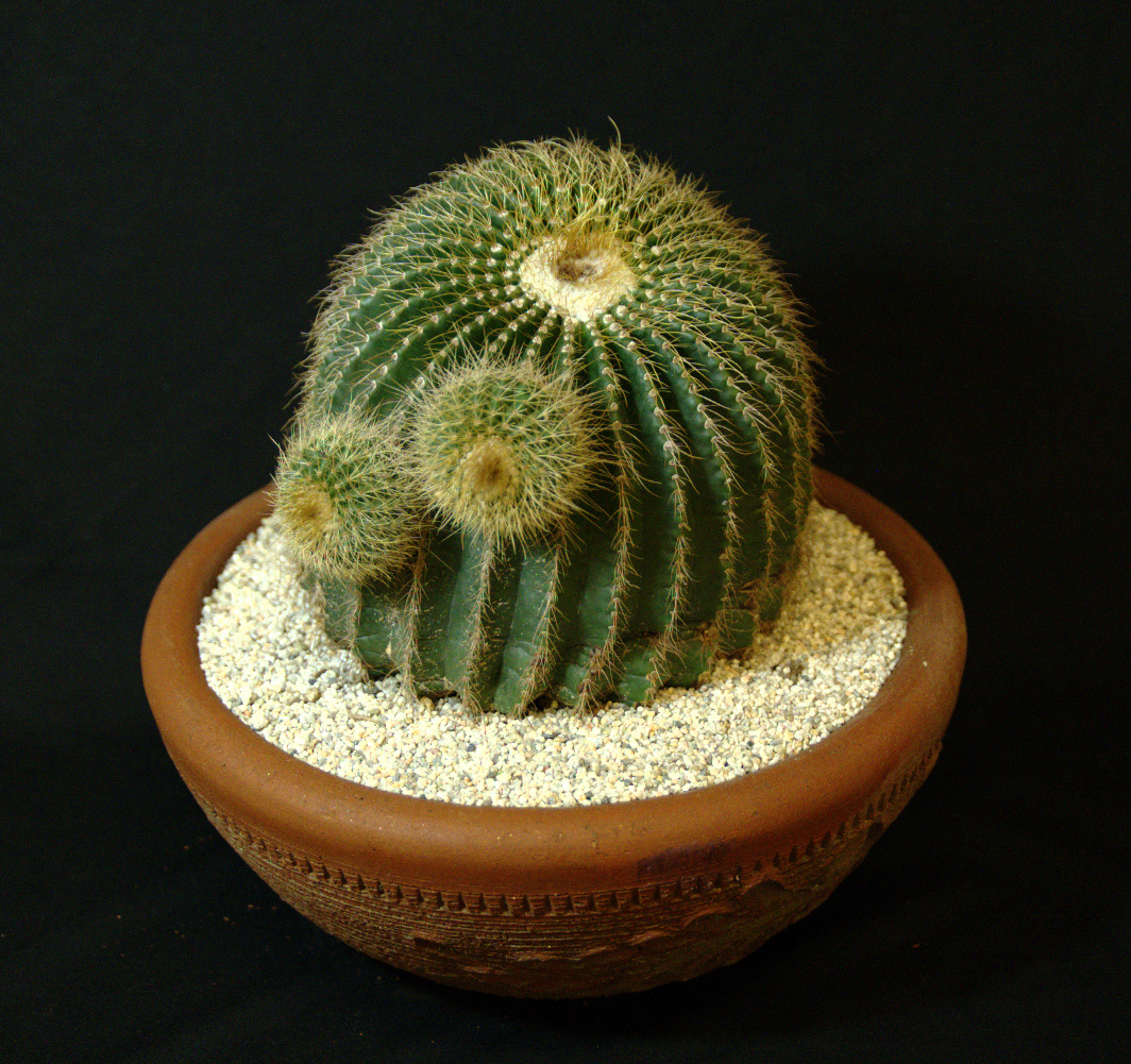 SCCSS 2017 January - Winner Open Cactus - Gary Duke - Notocactus sellowii