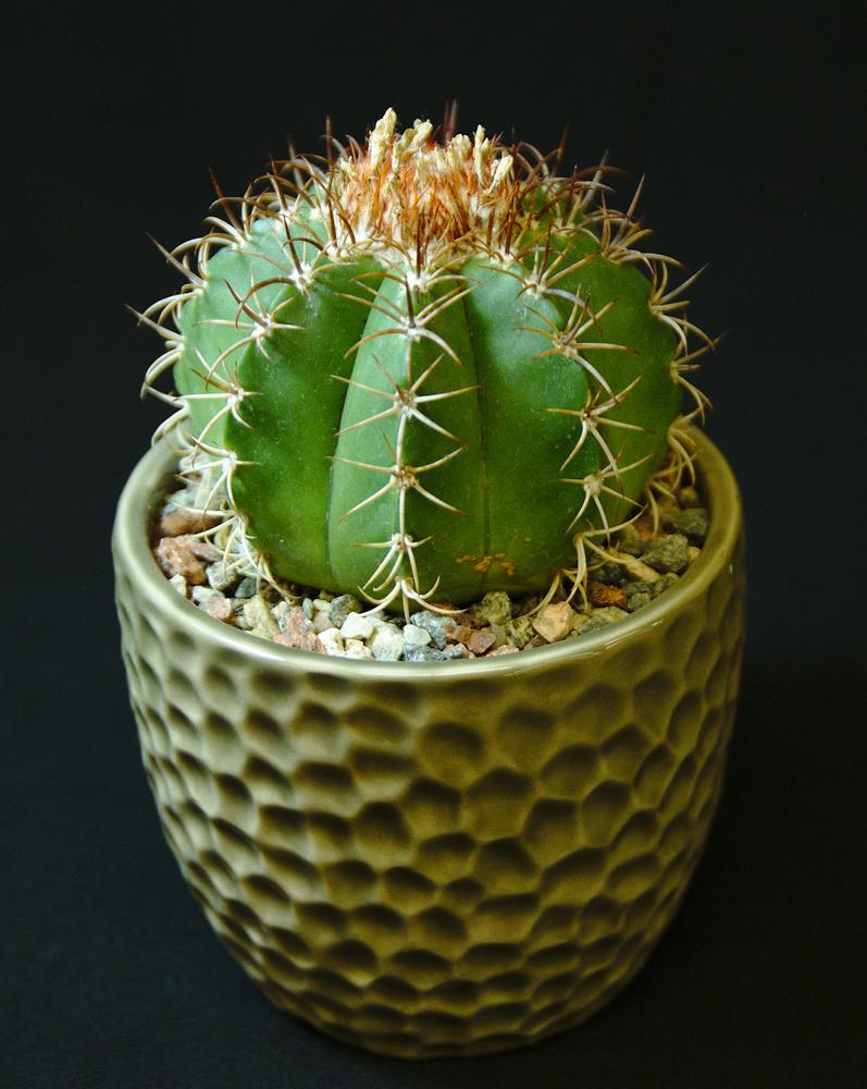 SCCSS 2017 February - Winner Novice Cactus - Terri Straub - Melocactus matanzanus