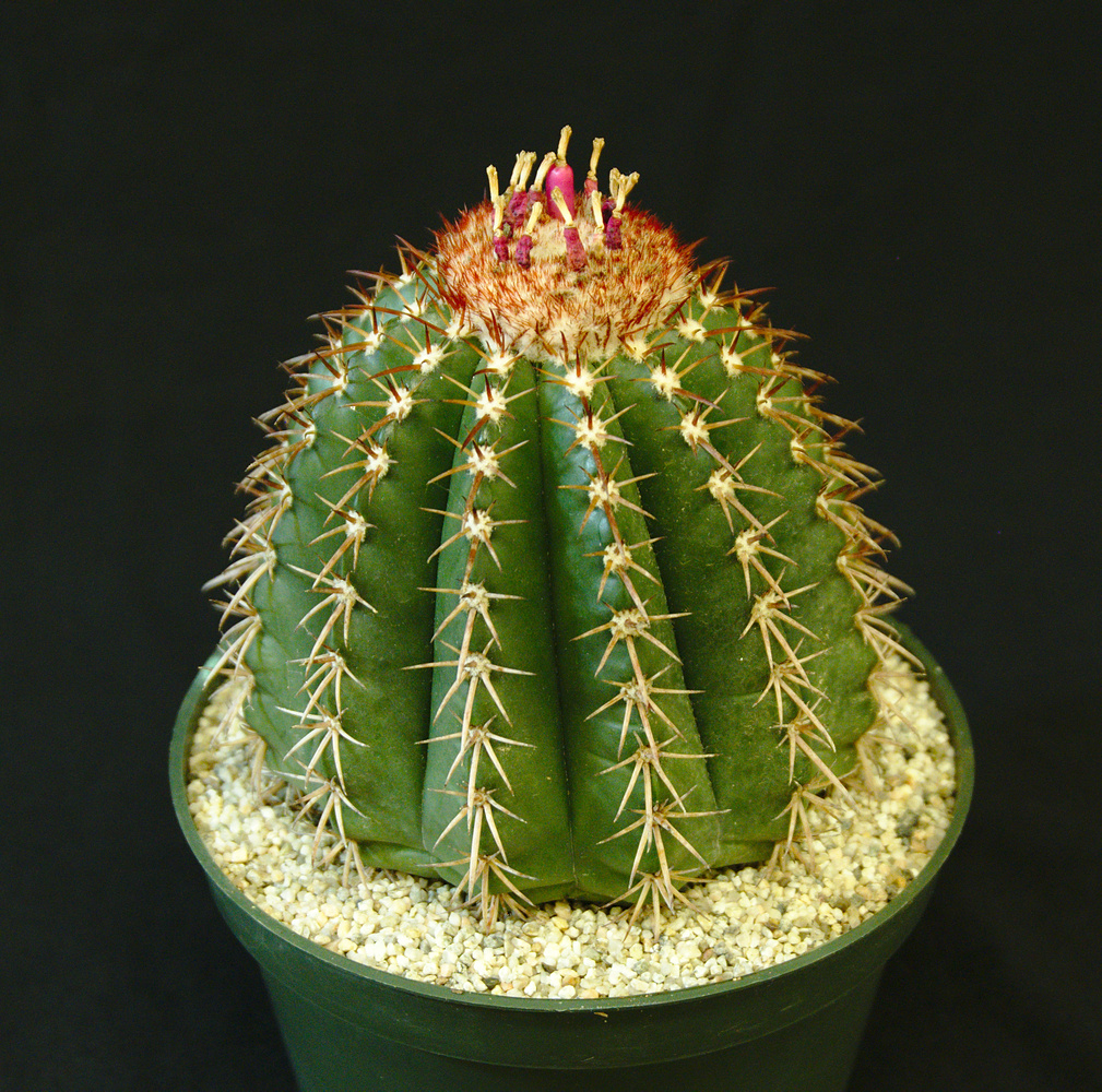 SCCSS 2017 February - Winner Open Cactus - Gary Duke - Melocactus conoideus