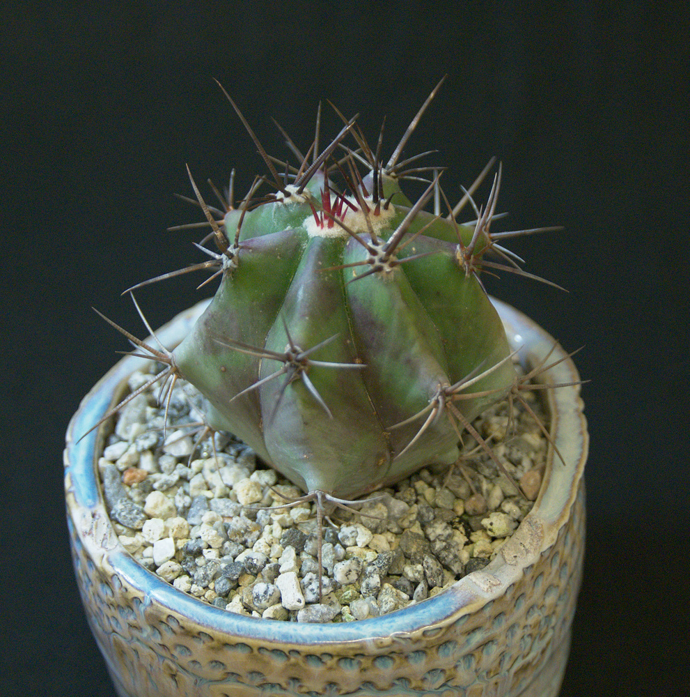 SCCSS 2017 March - Winner Novice Cactus - Bernard Johnson - Echinocactus palmeri