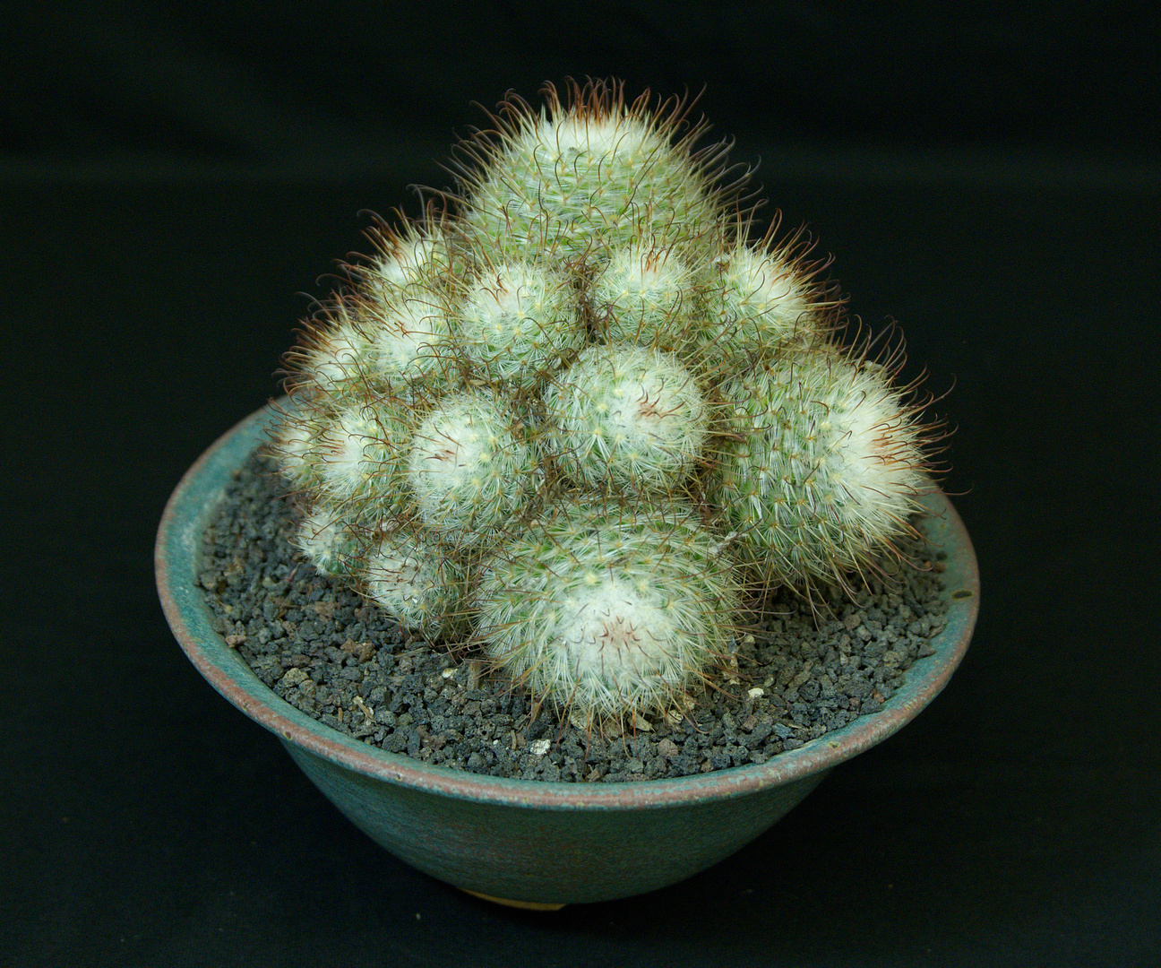 SCCSS 2017 May - Winner Intermediate Cactus - Dale LaForest - Mammillaria bocasana