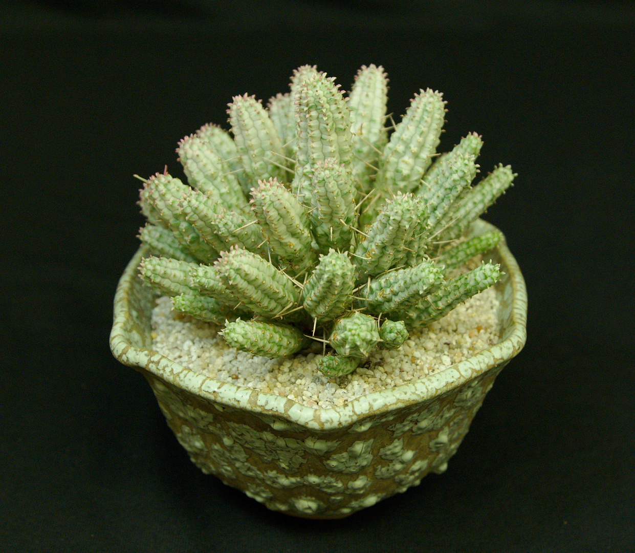 SCCSS 2017 May - Winner Novice Succulent - Sally Fasteau - Euphorbia mammillaris f. variegata