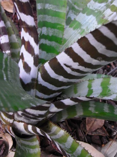 Aechmea chantinii