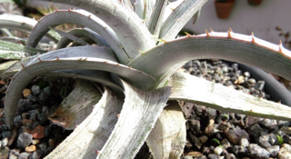 Dyckia macedoi