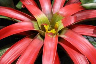 Guzmania tricolor