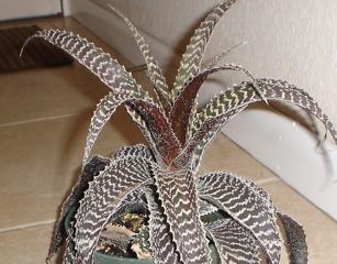 Orthophytum gurkenii