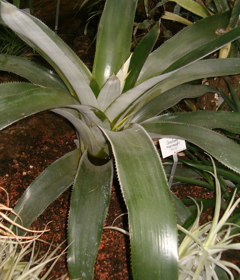 Ursulaea macvaughii