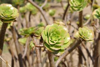 Sempervivum balsamiferum