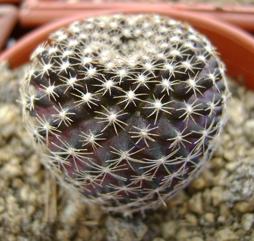 Copiapoa tenuissima