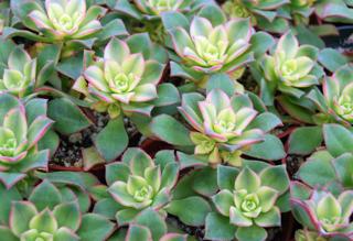 Aeonium 'Kiwi'