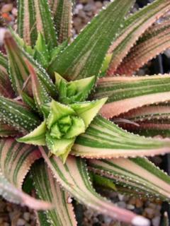 Haworthia attenuata f. variegata