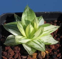 Haworthia cymbiformis f. variegata
