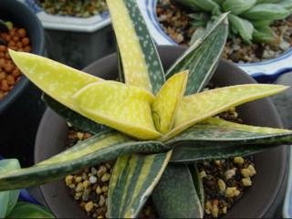 Gasteria f. variegata