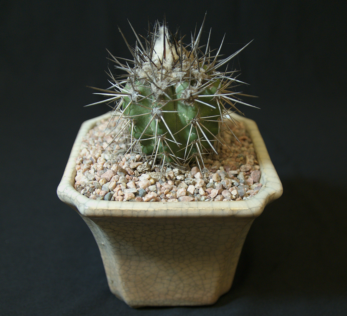 SCCSS 2017 October - Winner Novice Cactus - Bernard Johnson - Copiapoa marginata