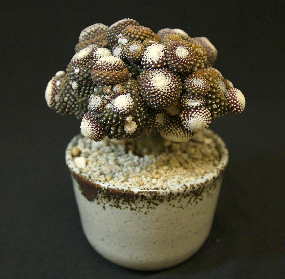SCCSS 2017 October - Winner Open Cactus - Laurel Woodley - Copiapoa tenuissima monstrose