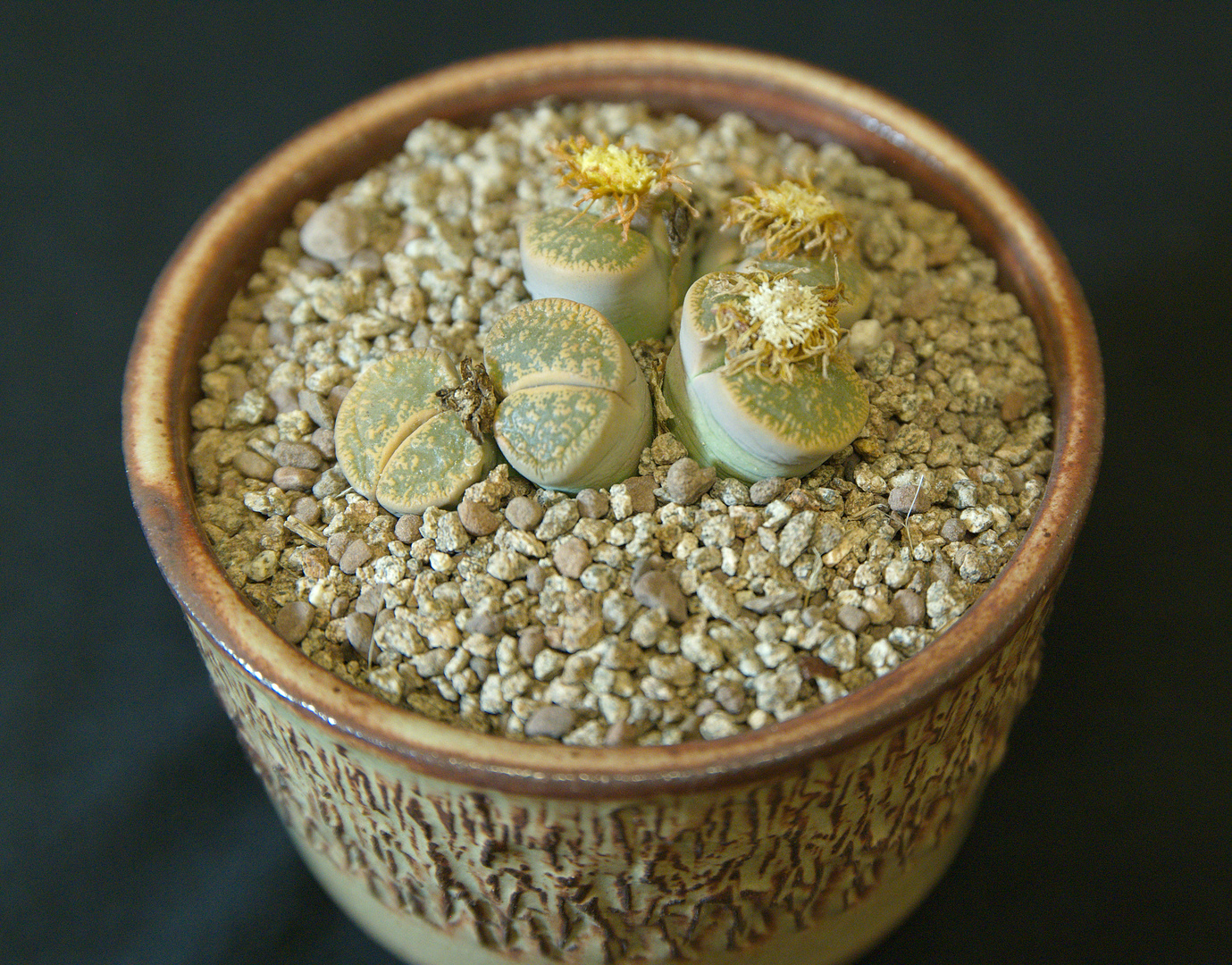 SCCSS 2017 October - Winner Open Succulent - Maria Capaldo - Lithops