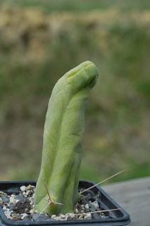 Trichocereus bridgesii forma mostruosus